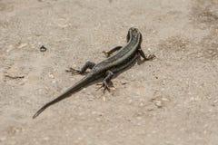 在桑给巴尔的大蜥蜴 坦桑尼亚 库存照片