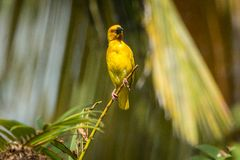 在桑给巴尔的大黄色野生鸟 坦桑尼亚 免版税图库摄影