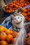 在桔子放置的滑稽的猫 免版税图库摄影