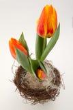 在桔子的复活节郁金香在顶部abgle 免版税库存照片