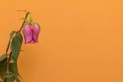 在桔子的退色的玫瑰色花 免版税库存照片