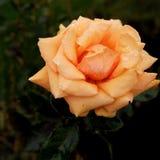 在桔子的雨珠上升了 库存图片
