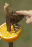 在桔子的蝴蝶 免版税库存图片