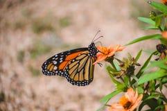 在桔黄色花的黑脉金斑蝶 库存图片