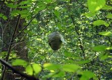 在桤木分支的大胡蜂巢  图库摄影