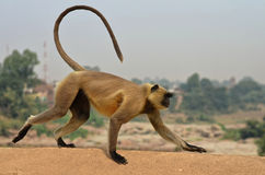 在桥梁的一只猴子 库存照片