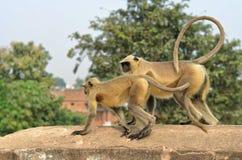 在桥梁的两只猴子 图库摄影