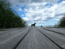 在桥梁的两条狗 库存照片