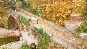 在桥梁的山羊在Vrosina村庄在约阿尼纳希腊 库存照片