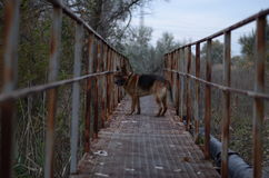 在桥梁的狗 库存图片