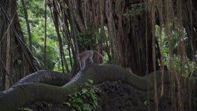 在桥梁的猴子在密林Ubud胡闹森林巴厘岛印度尼西亚 股票录像