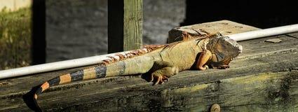 在桥梁的鬣鳞蜥在Ft lauderdale 免版税库存图片