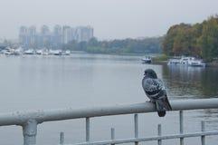 在桥梁的鸽子 库存图片