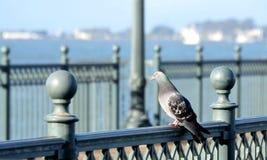 在桥梁的鸽子 免版税库存图片