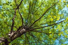 在桦树下 免版税图库摄影