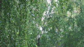 在桦树中的轻的夏天雨 股票视频