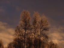 在桦树之后结霜的日出 库存照片