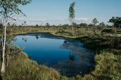 在桦树之间的大蓝色湖在沼泽在夏天 Kemeru拉脱维亚 免版税库存照片