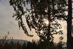 在桦树分支的日落  图库摄影