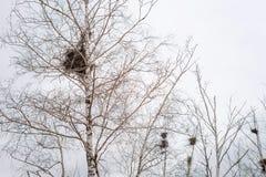 在桦树分支的空的鸟` s巢在3月 库存图片