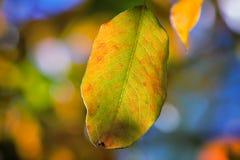 在桦树分支的第一片黄色叶子  免版税库存图片