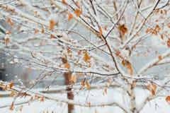 在桦树叶子的树冰在11月早晨 免版税库存图片
