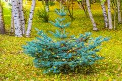 在桦树和黄色背景的针叶树蓝色云杉在地面上离开 免版税库存图片