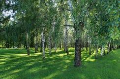 在桦树树丛的树荫下 免版税库存照片