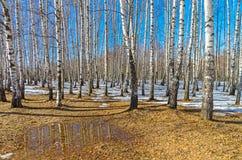 在桦树树丛,早期的春天的边缘的一个小水坑 库存照片