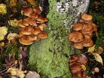 在桦树树干生长可食的蘑菇蜂蜜伞菌 免版税图库摄影