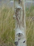 在桦树树干的结疤的面孔 库存照片