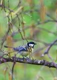 在桦树栖息的伟大的山雀 免版税图库摄影