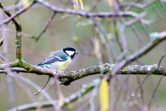 在桦树栖息的伟大的山雀 库存照片