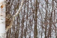 在桦树栖息的条纹猫头鹰 免版税库存图片