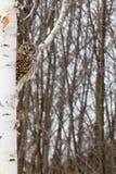 在桦树栖息的条纹猫头鹰 免版税库存照片