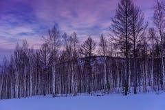 在桦树森林的紫色日落 免版税图库摄影