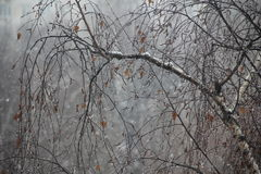 在桦树的下落 库存图片