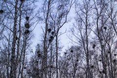 在桦树的乌鸦巢在日落和月亮 库存照片