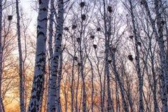 在桦树的乌鸦巢在日落和月亮 图库摄影