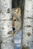 在桦树的孤立灰狼 免版税库存照片