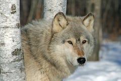在桦树的孤立灰狼 图库摄影