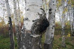 在桦树的成长-医药蘑菇chaga 免版税库存照片