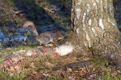 在桦树的根的好奇灰鼠 库存照片