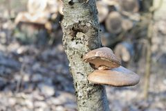 在桦树的桦树Polypore - Piptoporus betulinus - Betula Pendula 免版税图库摄影