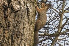 在桦树的灰鼠 免版税库存照片