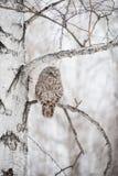 在桦树的猫头鹰 库存图片