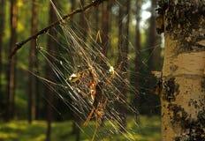 在桦树的蜘蛛网 库存图片