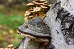 在桦树的Chaga蘑菇在森林里 库存照片