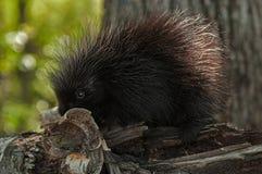 在桦树的Porcupette (美洲豪猪属dorsatum)嗅卷曲 免版税库存照片