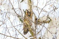 在桦树背景的猫头鹰  库存图片